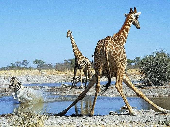 Focus on Etosha National Park Namibia News and Blog  : ENP from www.ashworthafrica.com size 700 x 525 jpeg 105kB