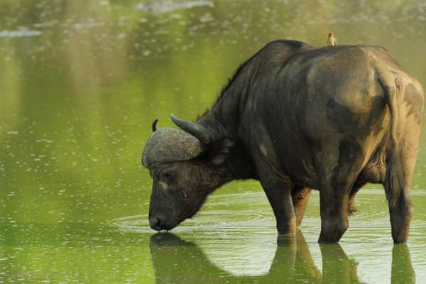 African buffalo, with redbilled oxpecker
