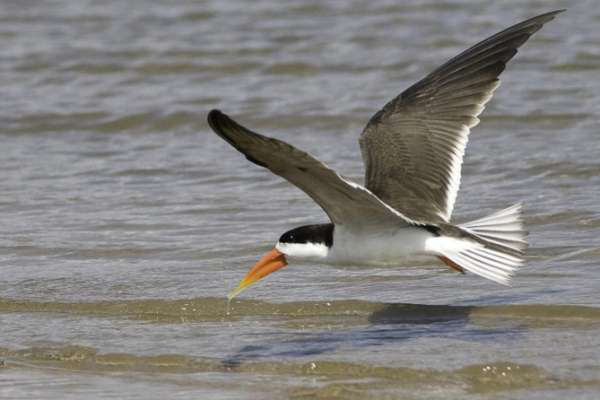 African skimmers dip their lower mandibles in the water to feed during flight