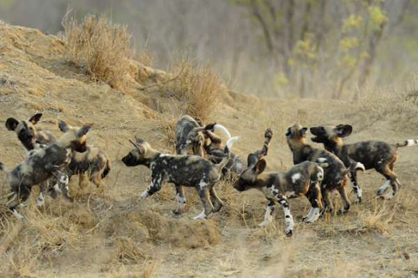 African wild dog pups at play, Kruger National Park