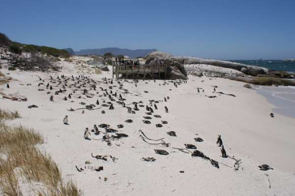 Boulders Beach, home to thousands of endangered African penguins