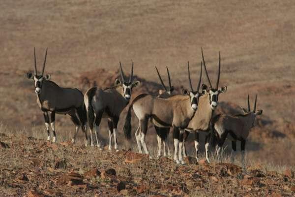 Gemsbok (Oryx gazella) can survive weeks without drinking water