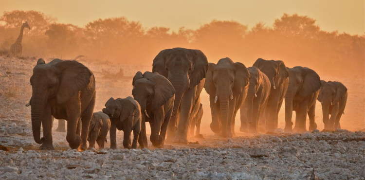 Etosha National Park elephants