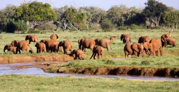 African Elephant herd gathering at the river