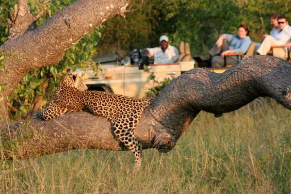 Leopards spend much of the day resting and sleeping