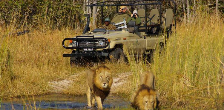 Okuti lions