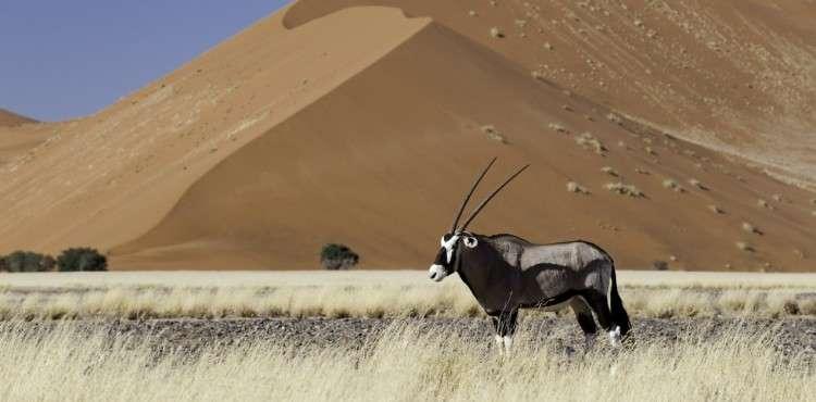 Sossusvlei oryx