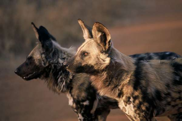 The African Wild Dog is an endangered species occurring in lightly wooded areas of sub-Saharan Africa
