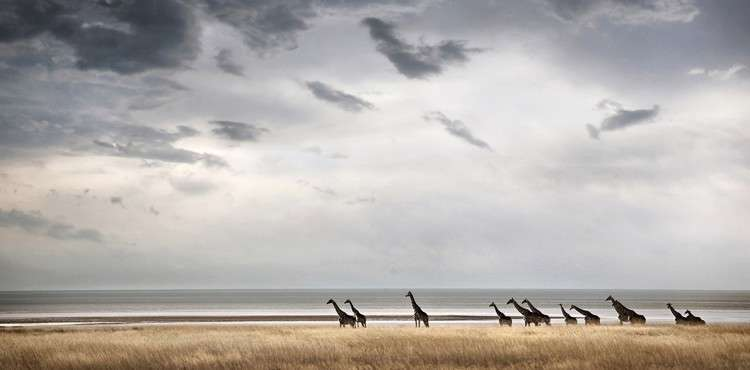 etosha-national-park-namibia-giraffe-ben-mcrae 1