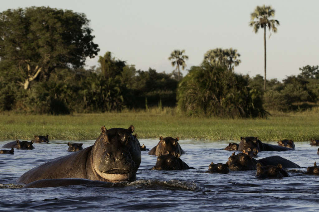 Hippos at Mombo Camp, Okavango, Botswana