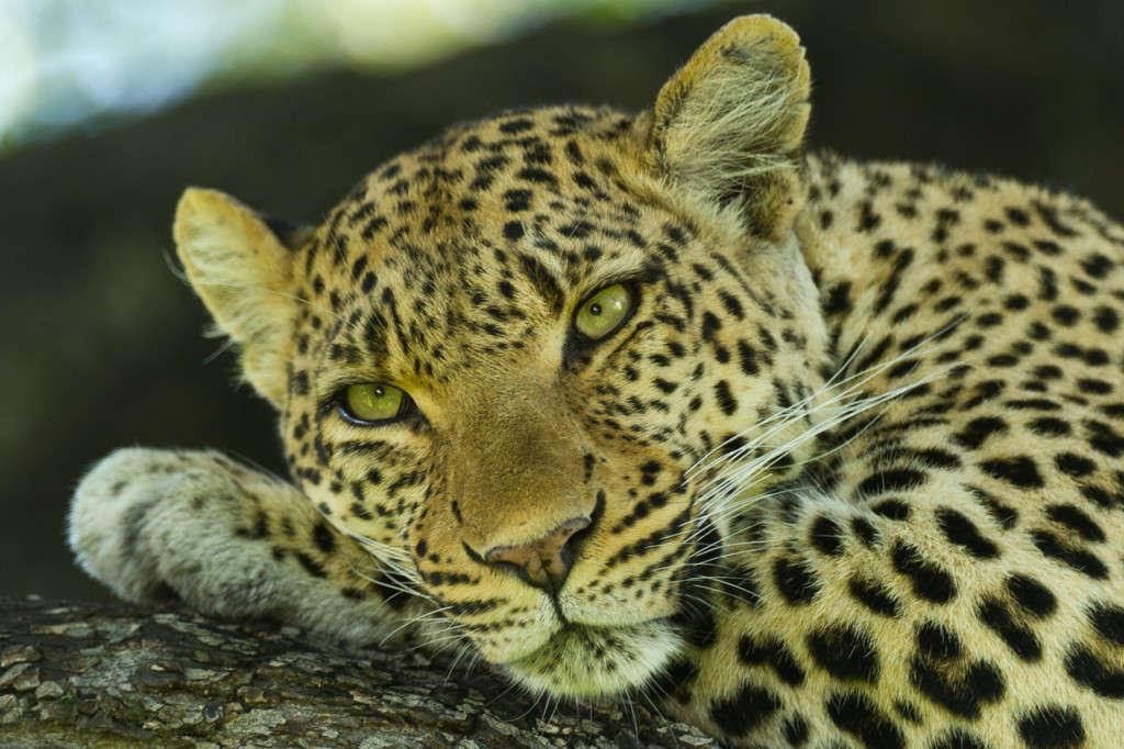 Leopard, Wilderness, Okavango Delta, Botswana