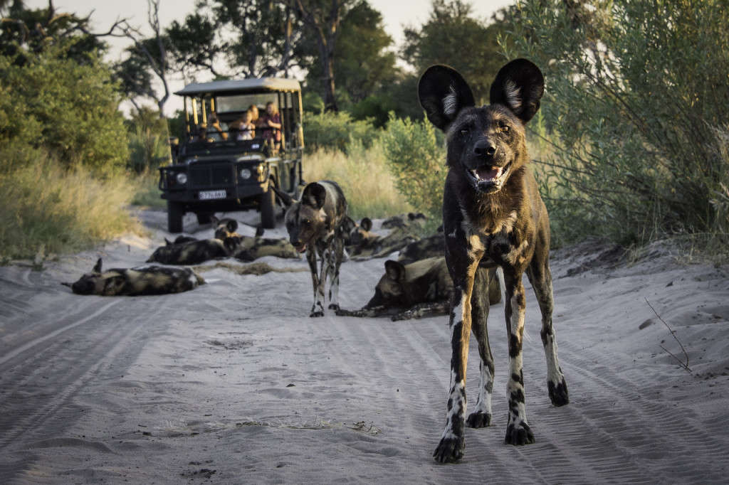 Wild dog - Abu Camp, Botswana - Wilderness - Dana Allen