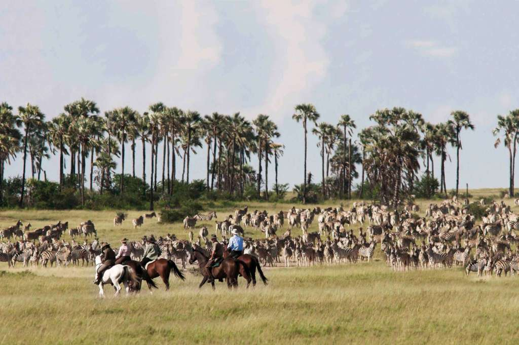 Zebra migration, green season