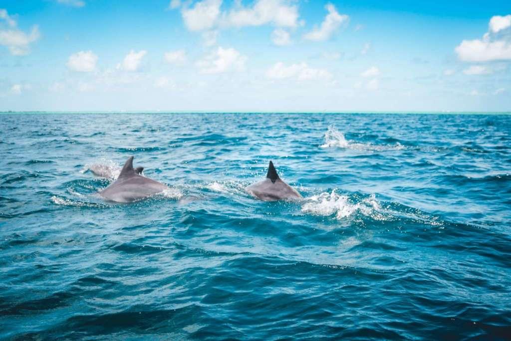 Dolphins, Mauritius