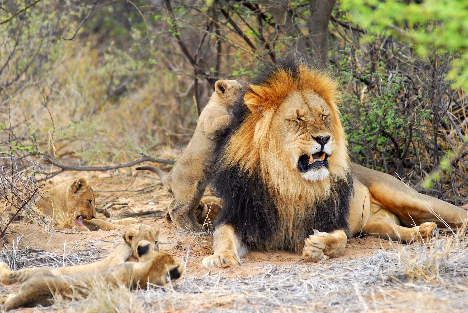 Black maned male lion and cubs - Tswalu Kalahari, South Africa - Ashworth  Africa